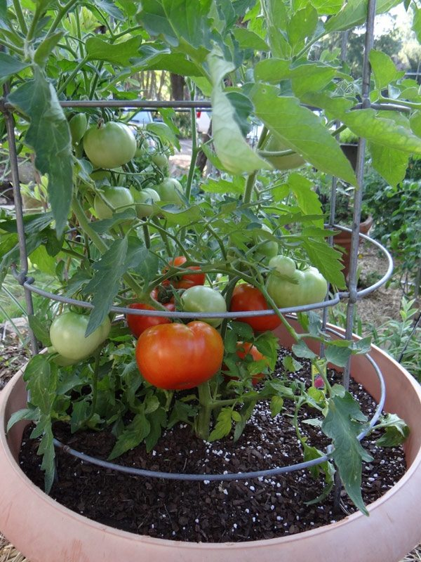 tried and trusted Best Tomato Growing Secrets in Containers