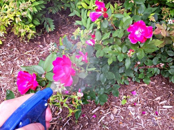 diy rose fertilizers and remedy