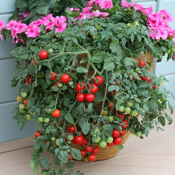 Growing Tomatoes In Pots? Note These 13 Basic Tomato Growing Tips