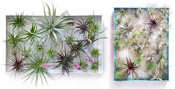 Use Air Plant Frames To Create A Beautiful Living Wall Of Them Diy Is Available At Apartment Therapy