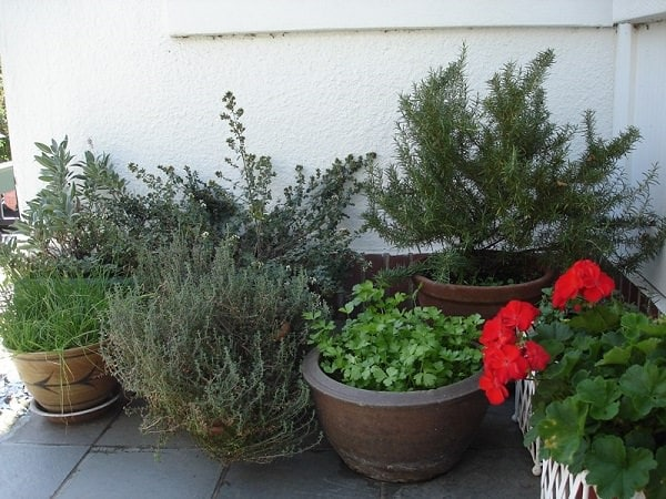 Most Of The Herbs Grow Well In Shallow Pots, But There Are Herbs Like Dill,  Cilantro, And Lavender That Needs 3 U2013 5 Gallon Sized Containers.