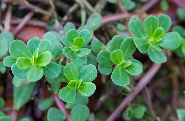 Growing Purslane