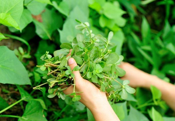 Amazing Purslane Benefits