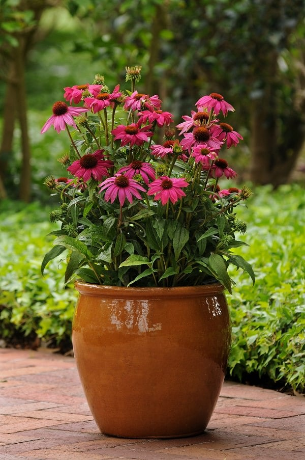 Fall Flowers for Containers 14
