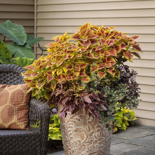 Fall Flowers for Containers 16