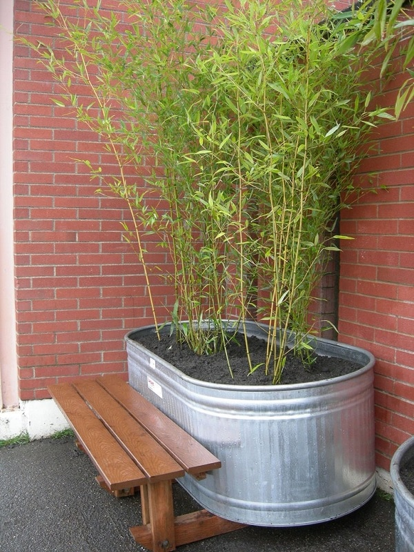 Bamboo In Pots Privacy Screens