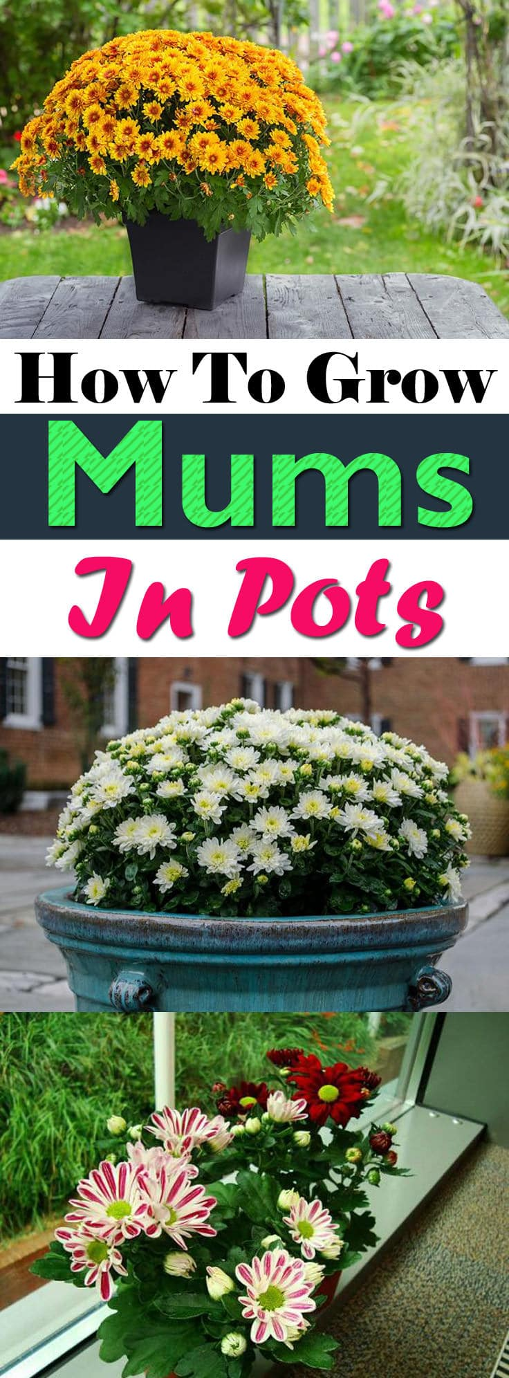 If you want to know how to grow chrysanthemums in pots, read below. Growing chrysanthemums in pots is quite easy if you know what to do and how?