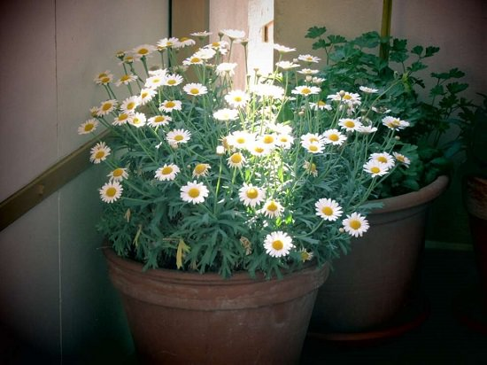Growing Chamomile in Pots