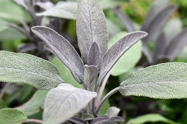 Sage Plants for a Witch's Garden