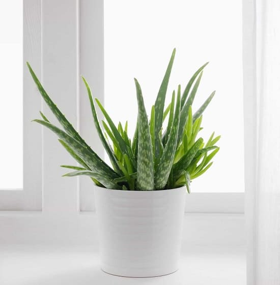 Healing Houseplants that can Improve your Health