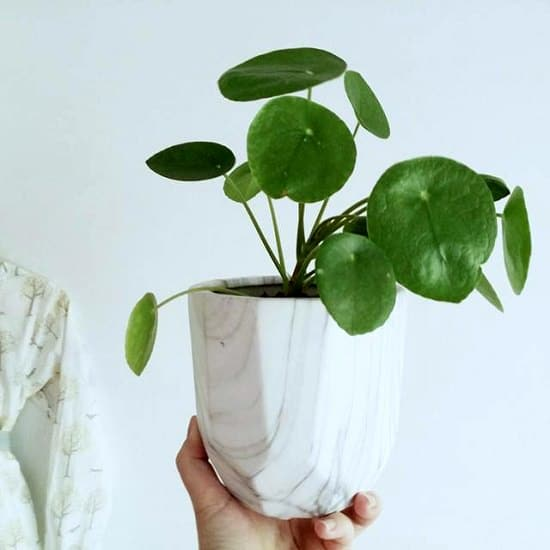 When It Comes To Small Indoor Plants Chinese Money Plant Pilea Peperomioides The Mind Its Pancake Shaped Leaves Look Striking With