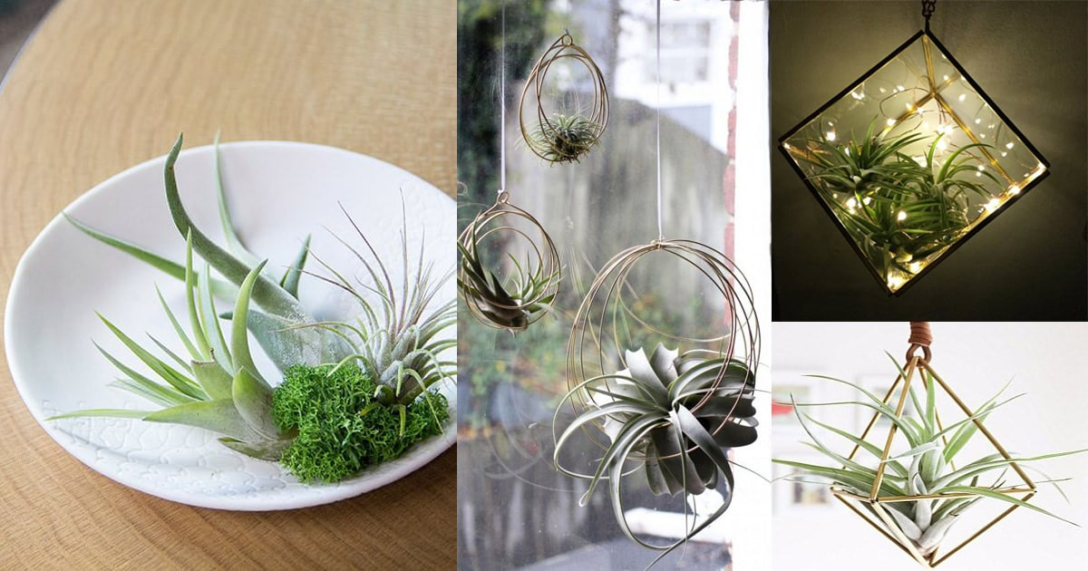 7 Air Plant Care Tips You Should Know Balcony Garden Web