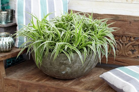 This Small Indoor Plant Can Thrive In The Neglect While Spider Plants Know How To Survive Tough Conditions They Too Prefer Exposure