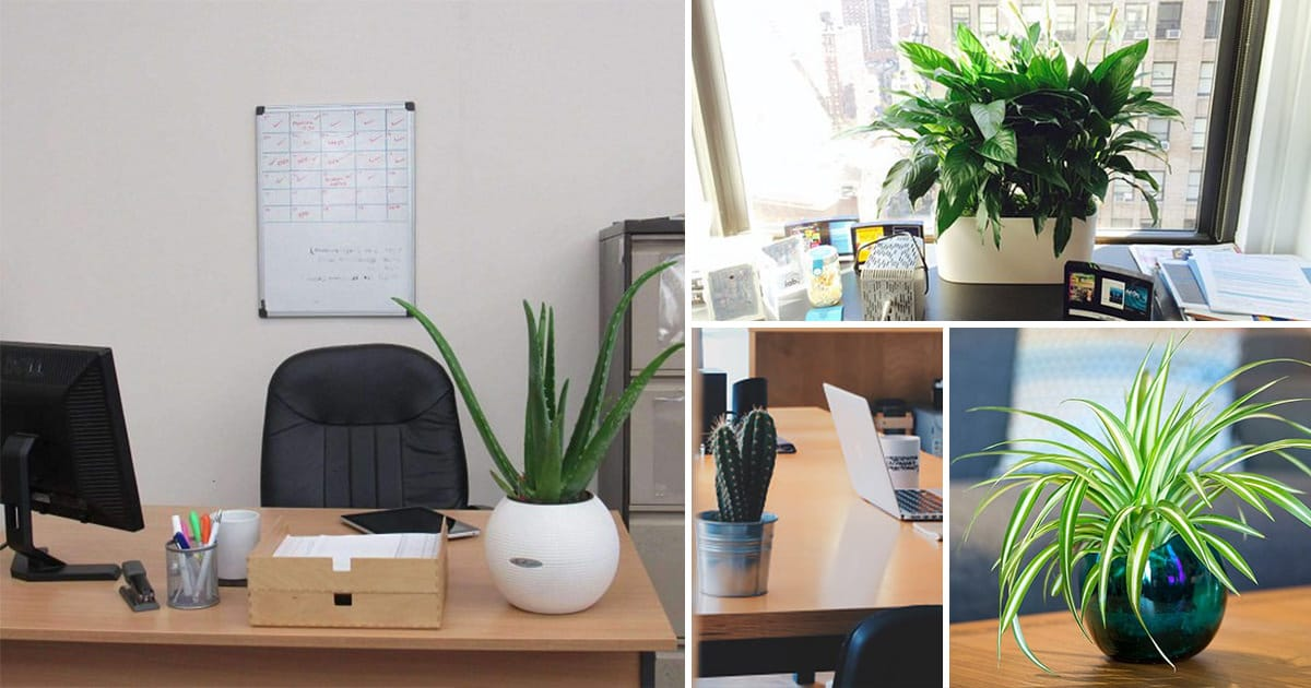 15 best office desk plants that don t need space balcony garden web rh balconygardenweb com Best Plants for Office Light Small Office Desk Furniture
