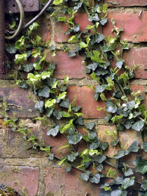 English Ivy Benefits 6
