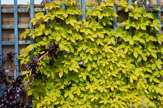 Best Perennial Vines 10