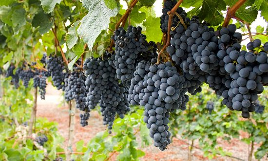 Best Perennial Vines 16