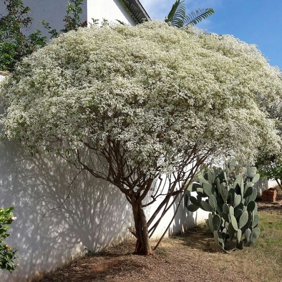 Bushes with White Flowers 4