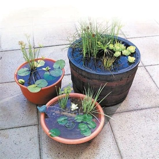 Aquatic Plants For Container