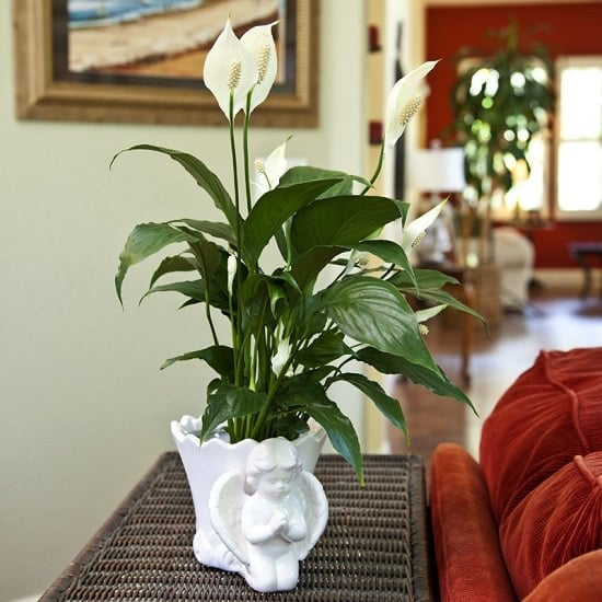 Apart from being a showy houseplant, there are amazing Peace Lily Benefits proven in studies you should know!