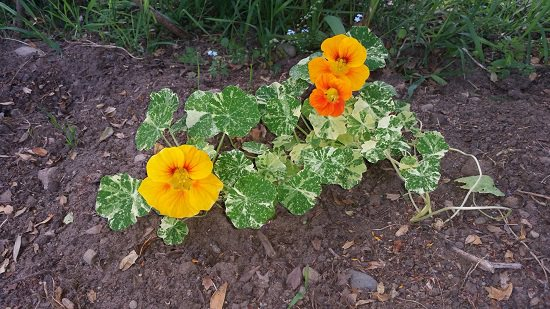 Reasons to Grow Nasturtium in the Garden you didn't know
