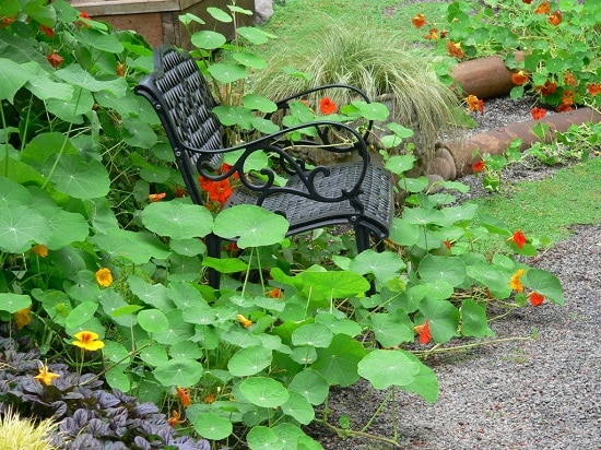 Reasons to Grow Nasturtium in the Garden for many benefits