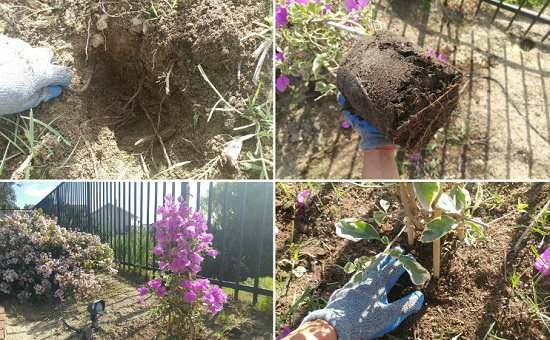 Bougainvillea Care Tips 2