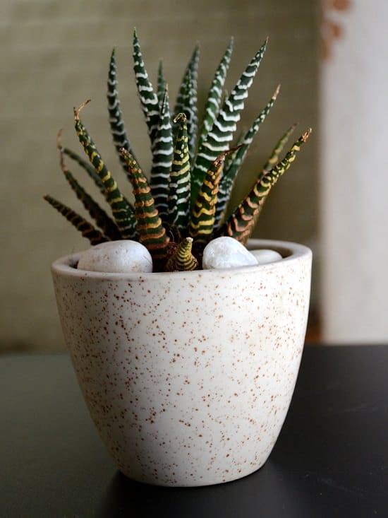 22 Shade Tolerant Succulents To Grow Where Nothing Grows Balcony