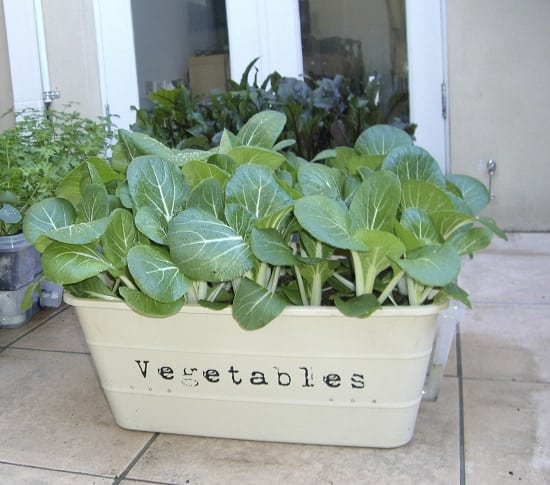 How to Grow Pak Choi in Containers