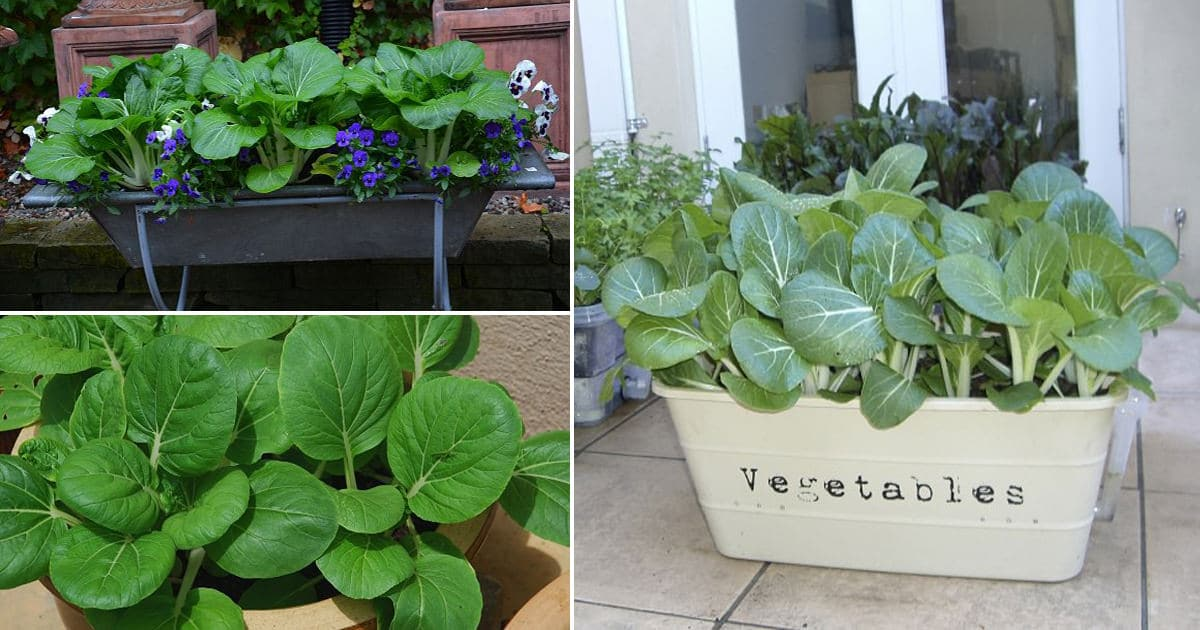 Everything About Growing Pak Choi In Containers How To