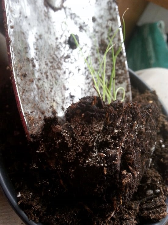 Are you reusing old potting soil?