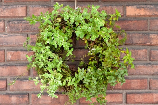 Decorative Living Herb Wreath