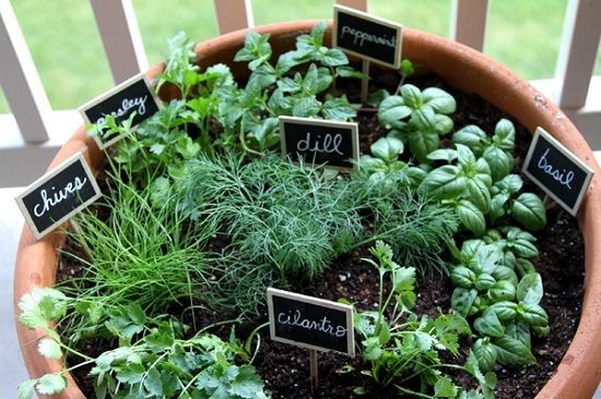 Herbs Growing In This Pot Parsley Dill Chives Basil Cilantro