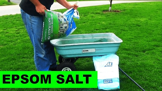 Sprinkle five cups of Epsom salts per 100 meter square of lawn, apply it with a spreader or spray it by diluting in water to get a lush green lawn.