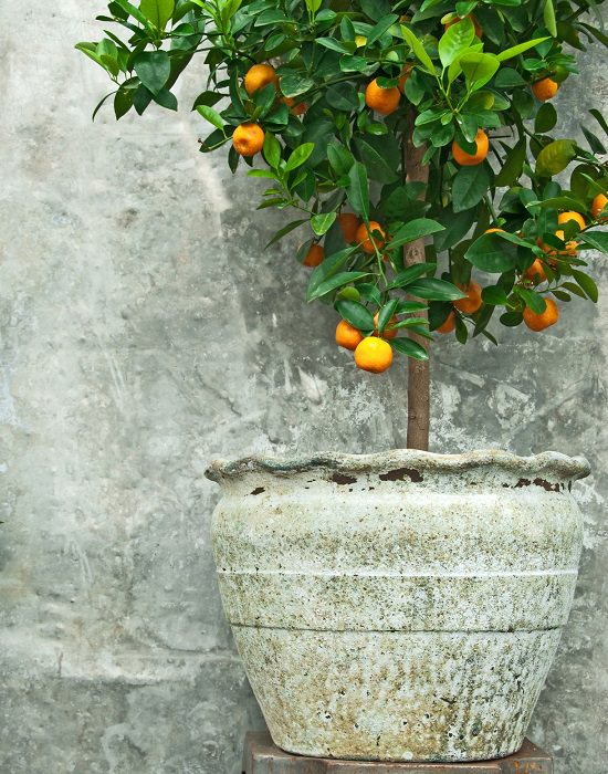 best citrus for containers