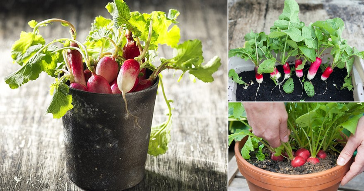 Everything About Growing Radishes In Containers Amp Pots