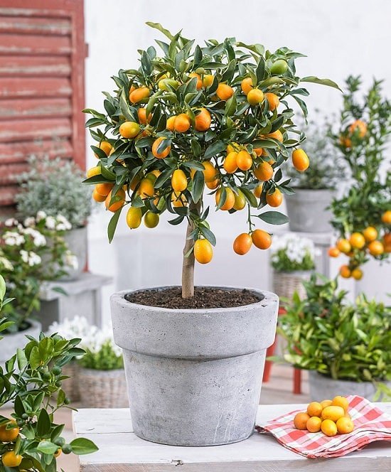 Learn about 5 best citrus trees for containers as Growing Citrus in Pots is not difficult due to their low height and low maintenance!