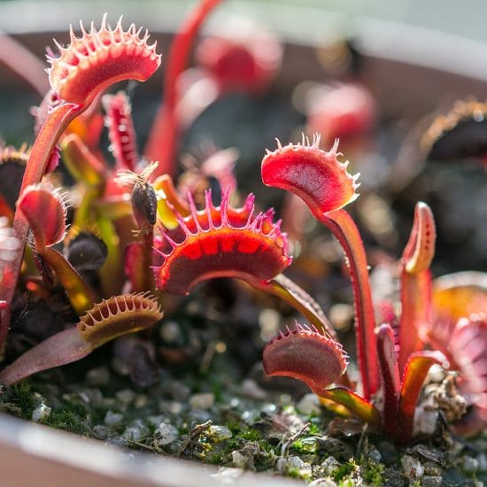 Basic Instructions for Growing Carnivorous Plants