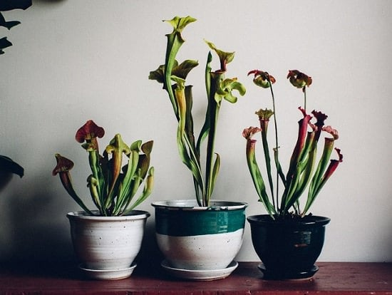 Gorgeous Carnivorous Plants Growing Tips