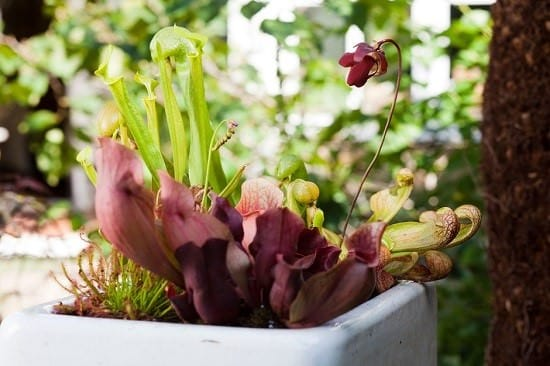 Carnivorous Plants Display for Balcony Garden