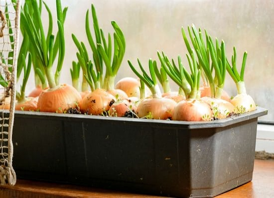 growing green onions in containers
