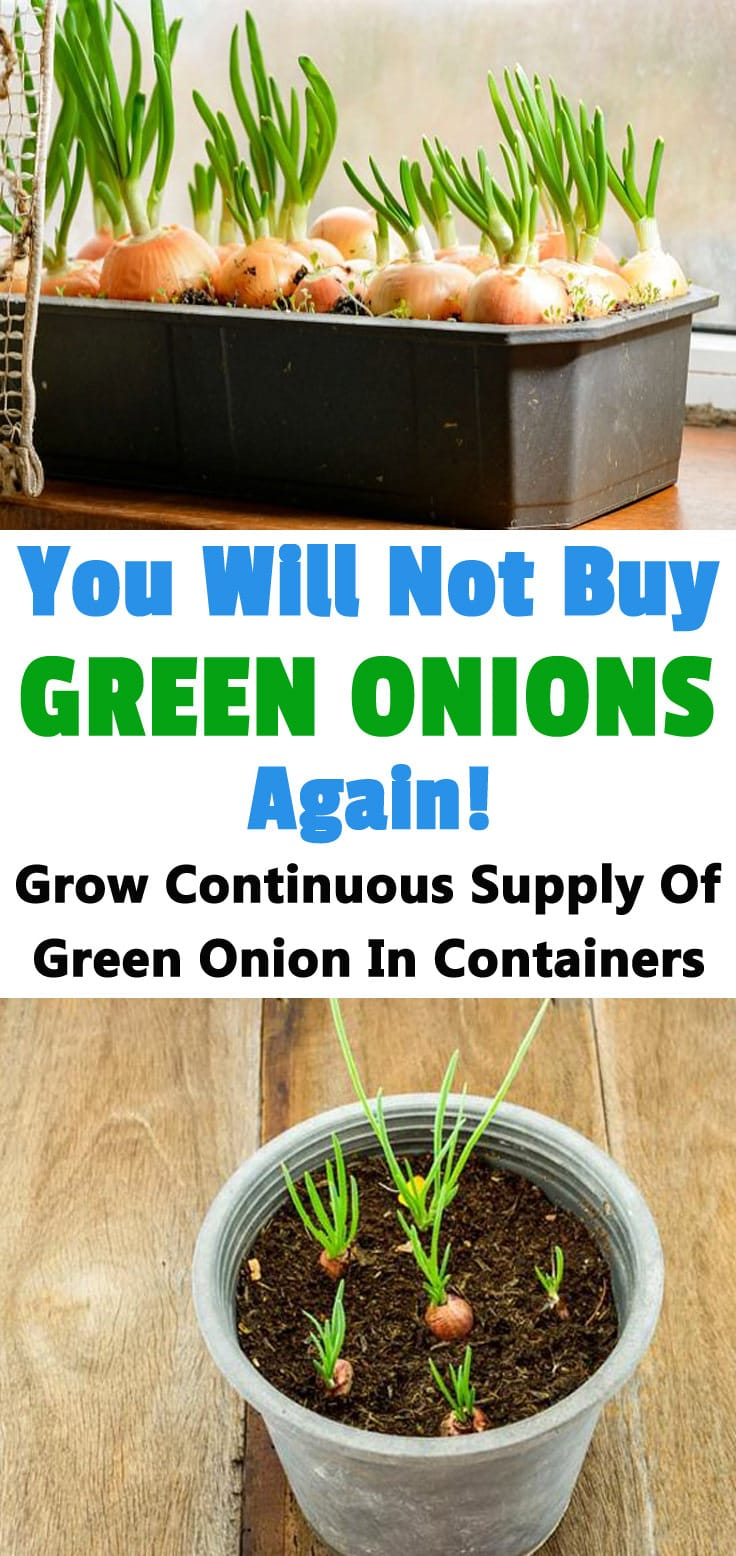 You Will Not Buy Green Onions Again Copy 1 Balcony