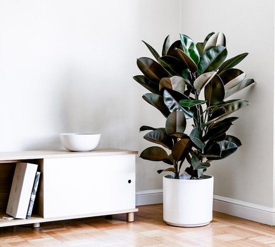 Rubber Tree Plant Care Tips