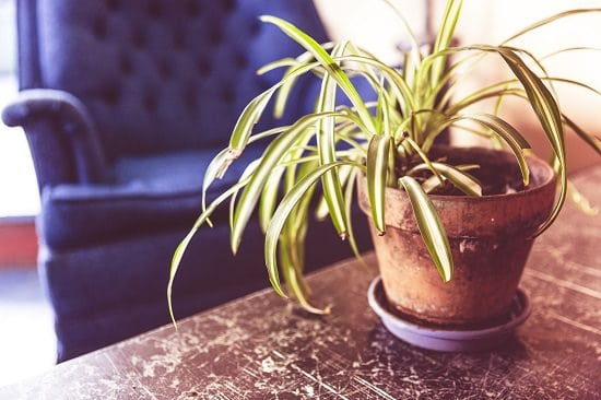 spider plant health benefits