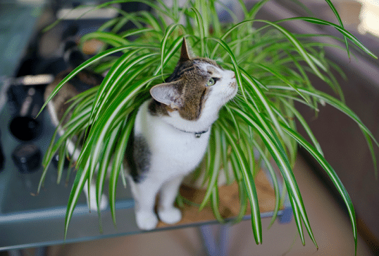 one of the best spider plant benefits is it is pet safe