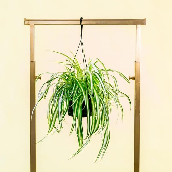 These scientifically proven Spider Plant Benefits will make you the fan of this low-maintenance houseplant.