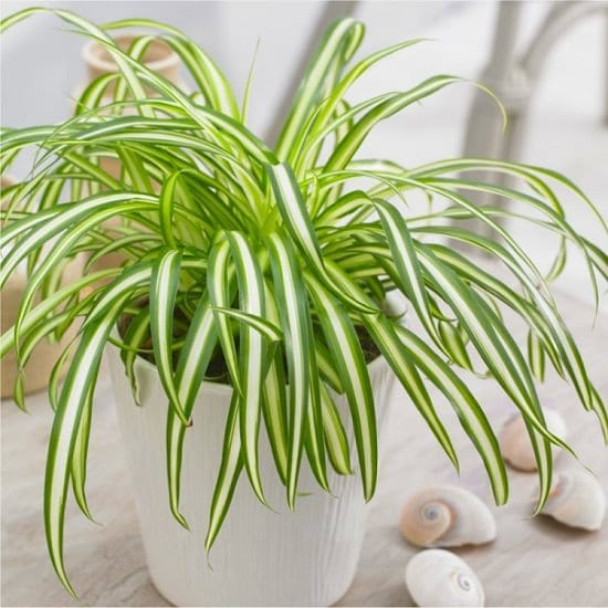 Growing A Spider Plant: Growing Spider Plants Indoors