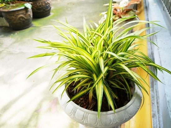 beautiful spider plant in a pot