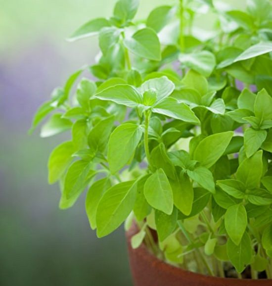 types of basil