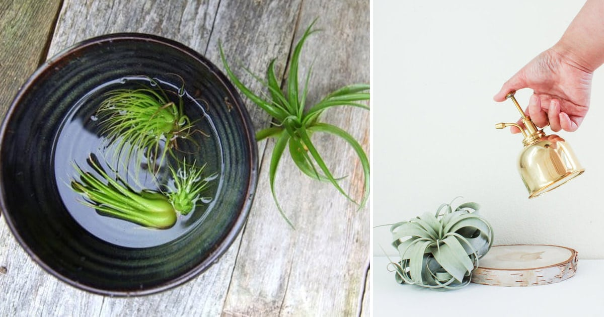 How To Water Air Plants Watering Air Plants Balcony Garden Web